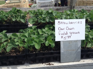 Grow your own with Wilson's own field grown strawberry and rhubarb plants!